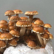Mushroom Kit Scaly Flamecap (Pholiota adiposa) - Free Shipping