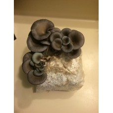 Mushroom Spawn bag 2kg  Pleurotus ostreatus  Pearl Winter strain (BLUE PEARL) - FREE SHIPPING