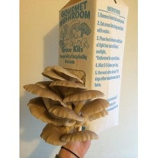 Mushroom grain master Spawn bag 2kg  Pleurotus ostreatus Tan Oyster 213  - FREE EXPRESS SHIPPING